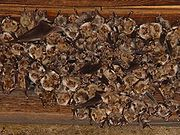 Colony of Mouse-eared Bats, Myotis myotis