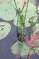 Myriophyllum heterophyllum 5457830.jpg