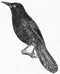 NSRW Blackbird.png