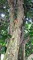 Napoleonaea imperialis avec floraison sur le tronc.jpg