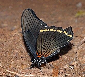 Papilio nireus - Image: Narrow banded green swallowtail (Papilio nireus nireus) underside