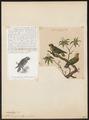 Nasiterna pygmaea - 1700-1880 - Print - Iconographia Zoologica - Special Collections University of Amsterdam - UBA01 IZ18600157.tif