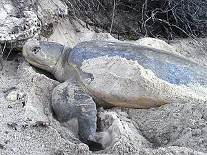 Flatback sea turtle - Nesting on Great Keppel Island off Queensland Coast, Australia
