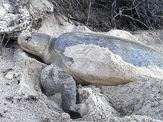 Flatback sea turtle species of sea turtle