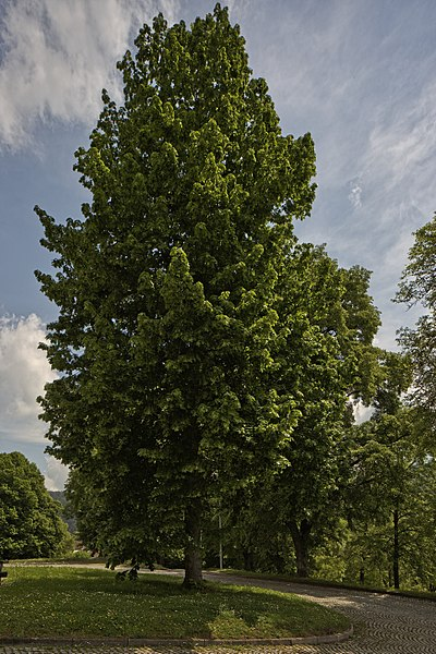 File:Naturdenkmal 12 Linden, Kennung 82350800012, Wildberg 01.jpg