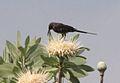 Nectarinia bocagii, mannetjie, Kwandorivier, Birding Weto, a.jpg