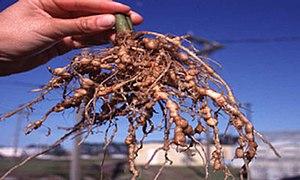 Root-knot nematode - Root-knot galls