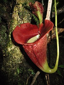 Nepenthes jacquelineae 1.JPG