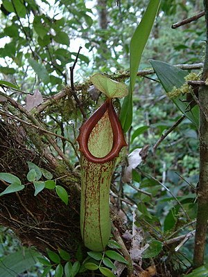 Biak - The carnivorous pitcher plant Nepenthes insignis grows on Biak.