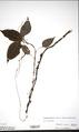 Neuchatel Herbarium Types NEU000113017.tif
