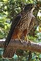 New Zealand Falcon (31641200046).jpg