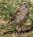 New Zealand Pipit Kapiti-Moustachial stripe.jpeg