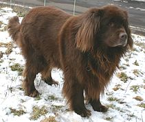 Newfoundland brown.jpg