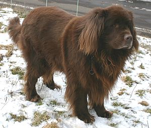 Newfoundland dog - A brown Newfoundland dog