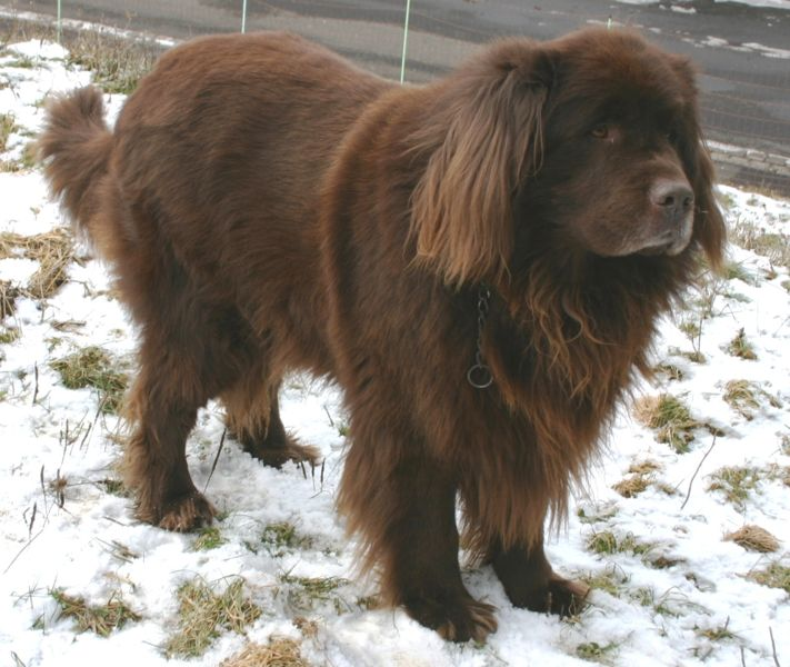 Fájl:Newfoundland brown.jpg