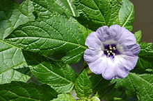 Nicandra physalodes blackspots leaf and flower.JPG