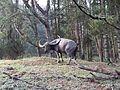 Nilgiris wild buffalo..JPG