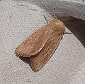 Noctuidae. Hadeninae. Leucaniini. Mythimna (Sablia) sicula - Flickr - gailhampshire.jpg