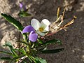 Noordwijk - Duinviooltje (Viola tricolor subsp. curtisii).jpg
