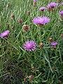 Noordwijk - Knoopkruid (Centaurea jacea).jpg