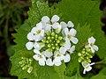 Noordwijk - Look-zonder-look (Alliaria petiolata).jpg