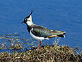 NorthernLapwing.jpg