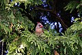 Northern Cardinal (female) - panoramio.jpg