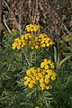 November flowers - Tansy - geograph.org.uk - 611548.jpg