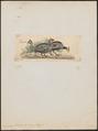 Numida ptilorhyncha - 1820-1860 - Print - Iconographia Zoologica - Special Collections University of Amsterdam - UBA01 IZ16900326.tif