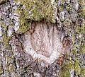 Oak bark & callus.jpg