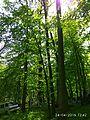 Oak tree near Gaydamatskyi stav 4.jpg