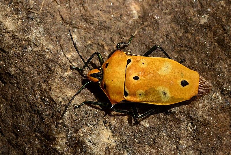 File:Ocellated Shield bug Cantao ocellatus from Anaimalai hills JEG1473.jpg
