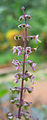 Ocimum tenuiflorum flower closeup.jpg
