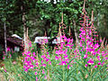 Old Cabin Fireweed (7978158604).jpg