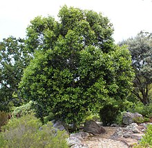 Olea capensis - Ironwood Tree - Cape Town 2.jpg