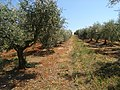 Olive plantation .jpg