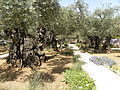 Olive trees in the traditional garden of Gethsemane (6409576209).jpg