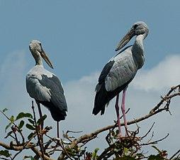 Openbill stork.jpg