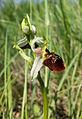 Ophrys holoserica sl1.jpg