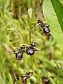 Ophrys speculum (habitus).jpg