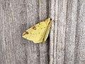 Opisthograptis luteolata (36209033643).jpg