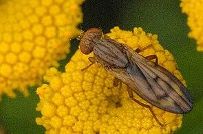 Opomyza.germinationis