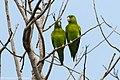 Orange-chinned Parakeet - Darién - Panama (48444164486).jpg