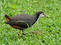Orange Tail (33293931035).jpg