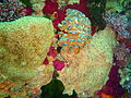 Orange and blue fan ascidians at Rheeder's Reef P2277048.JPG