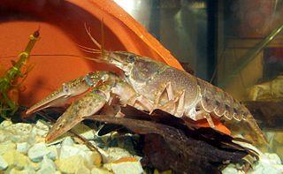 <i>Orconectes immunis</i> species of crustacean