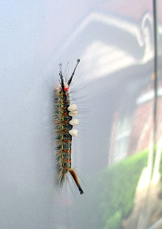 Orgyia leucostigma - Caterpillar in Texas (April)