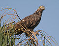 Oriental Honey-buzzard (Pernis ptilorhynchus) in Hyderabad, AP W IMG 1310.jpg