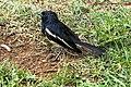 Oriental Magpie Robin (7228217096).jpg