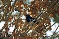 Oriental Magpie Robin kalakote.jpg